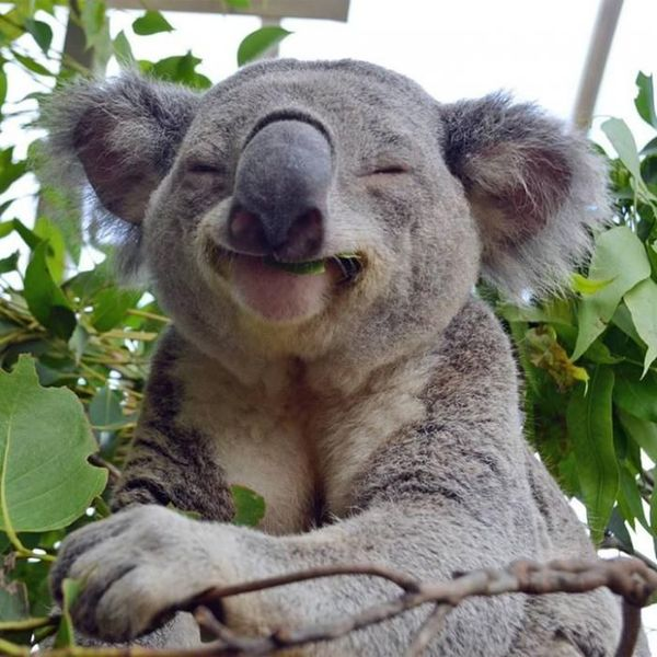 Koala's know that to be the best koala, one must engage in frequent naps.