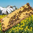 Diebe stehlen mehr als 20.000 Bienen am Bodensee