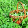 Bärlauch sammeln im Frühjahr: drei Rezeptideen mit dem Wildkraut