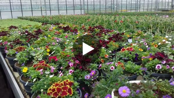 ROELOFARENDSVEEN - Een overzicht van de planten die klaargemaakt worden voor de eerste weken van mei bij Jongplant (video)