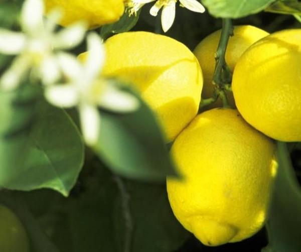Zitronen spielen die Hauptrolle bei diesem Rezept. Foto: dpa