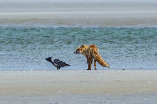 Fuchs und Raabe auf der Sandbank vor Darßer Ort. (Foto: Klaus Haase)