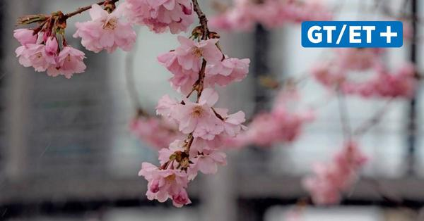 Kirschblüte auf Göttinger Campus beginnt