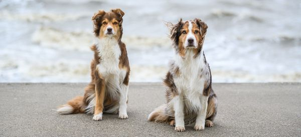 Corona-Krise lässt Nachfrage nach Hunden explodieren