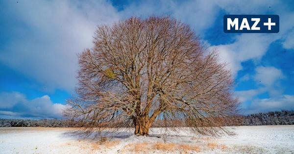 Der Kugelbaum von Falkensee begeistert Spaziergänger