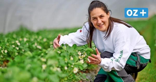 Erdbeeren in MV: Wann es bei Karls und Glantz die ersten Früchte gibt und was sie kosten