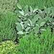 Heilpflanzen im eigenen Garten anbauen