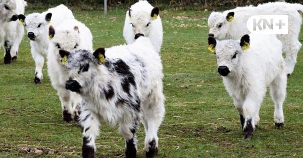 Sieben süße weiße Galloway-Kälber in Bebensee