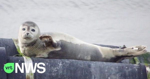 Un nombre croissant de phoques aperçus au littoral belge - Meer zeehonden aan de kust, maar ook meer uitdagingen