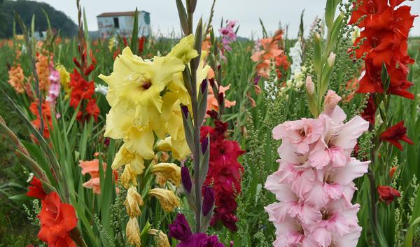 Gladiolen bringen Farbe in den Garten. Foto: dpa