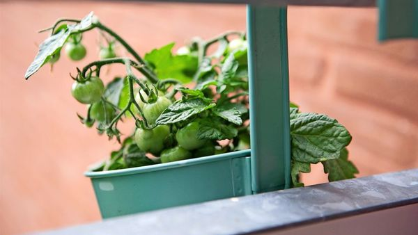 Gemüse und Obst vom Balkon:  Tipps für eine reiche Ernte
