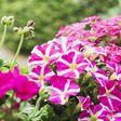 Sonnig oder schattig: Diese Balkonpflanzen sind pflegeleicht