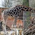 Hannover: Zoo befürchtet schnelle Schließung