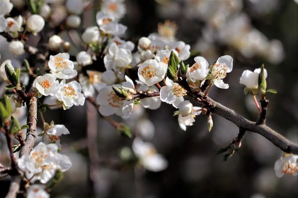 Die Kirschen stehen in voller Blüte. (Foto: Ingo Krummheuer)
