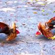 Polémica con Ley de Bienestar Animal en Cuba: permiten peleas de gallos y sacrificios religiosos