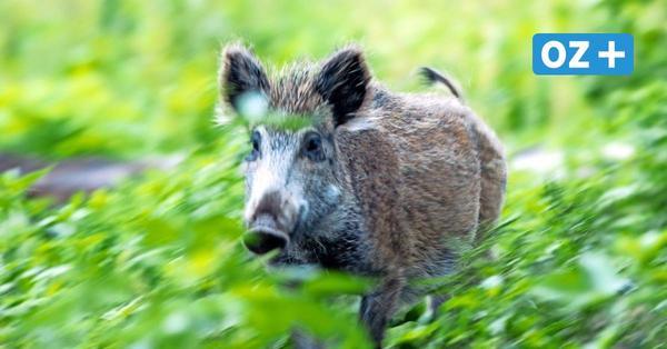 Wildschweine in Greifswald: Warum die Tiere nicht einfach erschossen werden