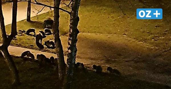 Wildschweinplage: CDU fordert vom OB Ende des Kuschelkurses