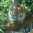 How Palm Oil Impacts the Sumatran Tiger