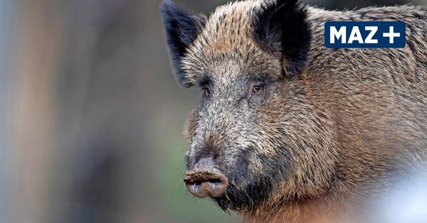 Die Angst vor der Schweinepest im Havelland ist groß