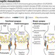Mosaic synapses in epilepsy | Science