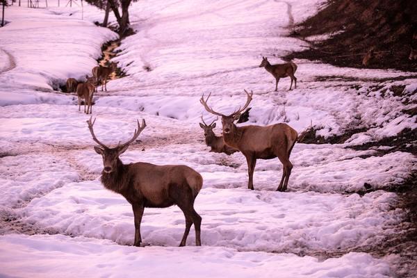 Legislature Strips Game and Fish of Elk Feedground Closure Power