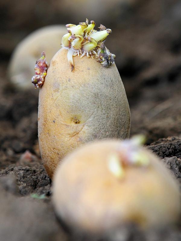 Das wird etwas: vorgekeimte Saatkartoffeln. Foto: Hendrik Schmidt/dpa