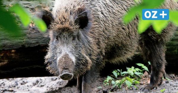Wildschweine in Greifswald: Landkreis gibt grünes Licht für Jagd