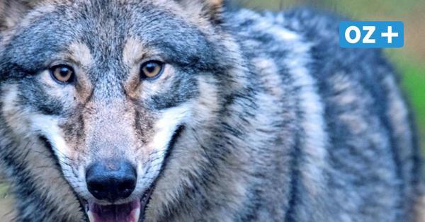 Aktuelle Fälle zeigen: Wölfe kommen den Menschen in MV immer näher