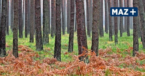 Warum Brandenburgs Wälder jetzt vermessen werden