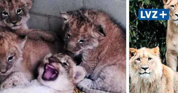 Nach tödlichen Attacken: Leipziger Zoo hat wieder Löwenbabys - Vierlinge wohlauf