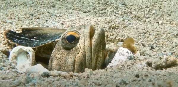 Finespotted Jawfish in the La Ventana Bay