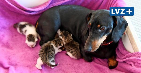 Das Wunder von Hohnstädt: Dackel als Katzenmutter
