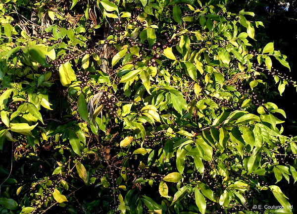 With Climate Change Looming, Is Stenophylla The Key To Coffee Post-Arabica?