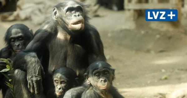 Pongoland im Zoo Leipzig: Bonobo-Chefin Lexi zieht drei eigene und ein fremdes Kind auf