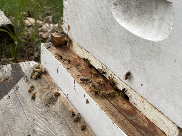 About an hour after the bees get their new home, they're out on the porch, fanning and taking orientation flights.