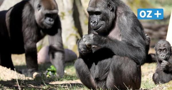 Rostocker Gorillajunge Moyo wird ein Jahr alt: Schaukel zum Geburtstag