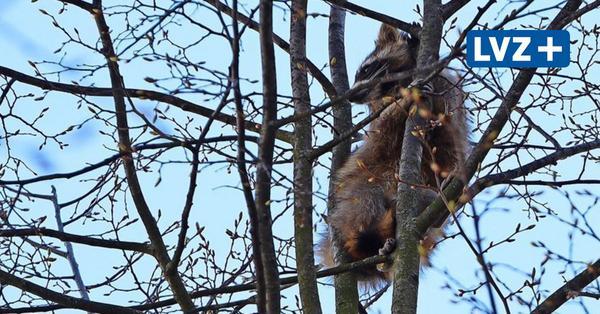 Trotz Feuerwehreinsatz: Junger Waschbär auf Baum auf der Karli gefangen