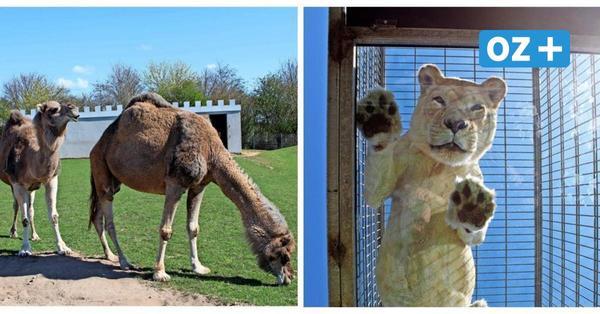 Tierparks und Zoos in MV: Fast überall gilt Testpflicht