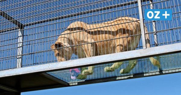 Neue Attraktion: Spaziergang direkt unter Tigern und Löwen in Dassow