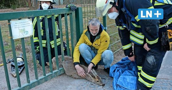 Feuerwehr Glinde befreit eingeklemmtes Reh