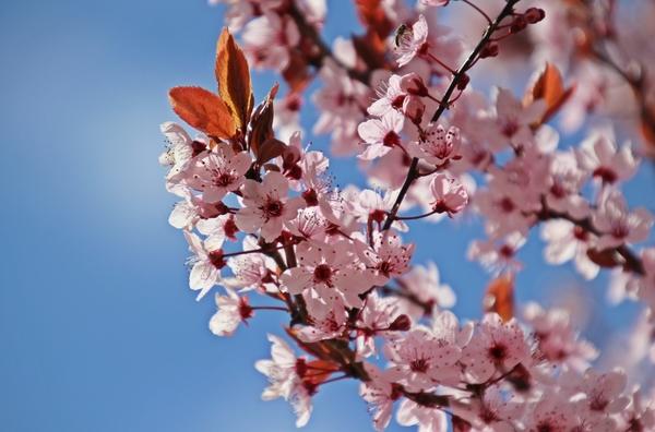 Kirschblüten in Grimmen (Foto: Anke Hanusik)