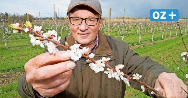 Usedom: Warum auf der Ostseeinsel Aprikosen wachsen