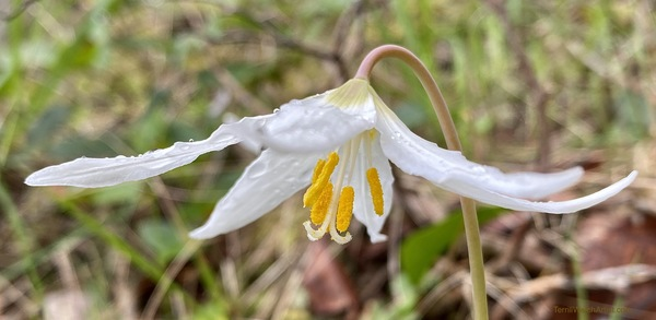 White Fawn Lily in the rain by Terrill Welch