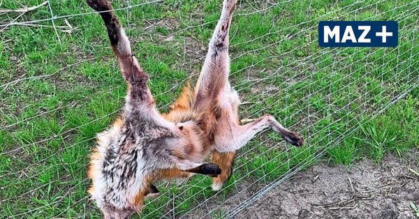 Tierquälerei: Fuchs stirbt an Wildschutzzaun