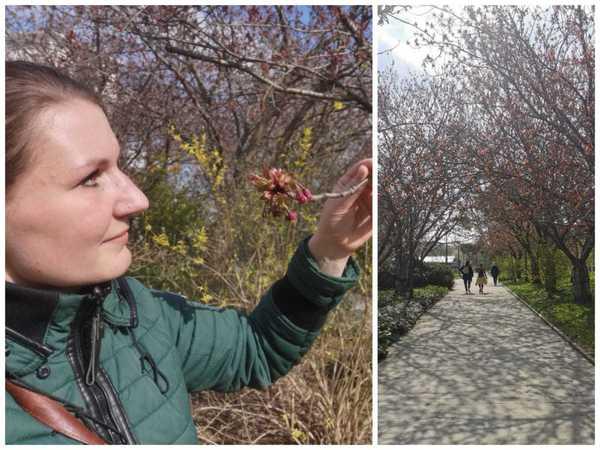 Die Kirschbäume im Rostocker Botanischen Garten stehen kurz vor der Blüte.