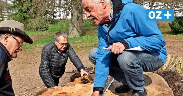 Historische Rotbuche in Putbus wird zu Brennholz: Denkmalschützer empört