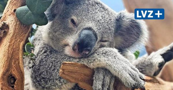Erstes Koala-Baby Bouddi im Leipziger Zoo wird groß und nabelt sich langsam von der Mutter ab