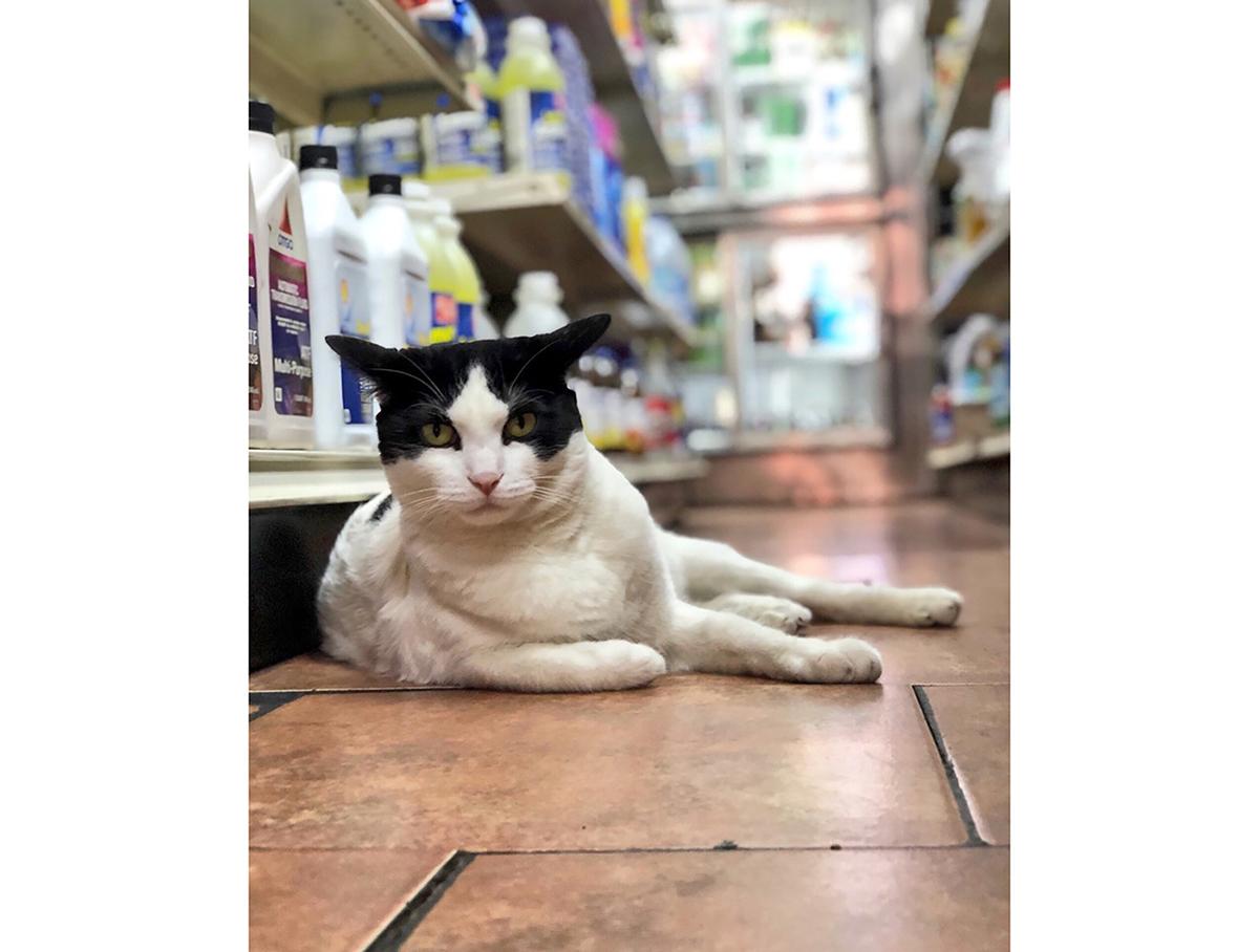A bodega cat in New York City (image courtesy Rob Hitt)