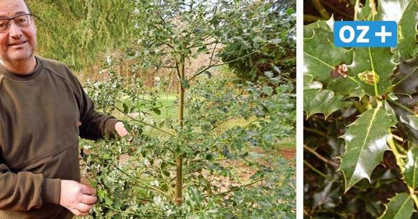 Insel Usedom: Jahresbaumallee bei Korswandt wächst und wächst