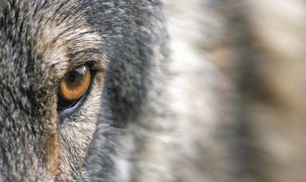 """""""Tag des Wolfes"""": Nabu will mit """"bösen Märchen"""" aufräumen - Heidekreis - Walsroder Zeitung"""